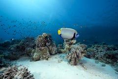 angelfish ωκεανός αυτοκρατόρων Στοκ Εικόνες