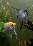 angelfish δύο Στοκ εικόνες με δικαίωμα ελεύθερης χρήσης