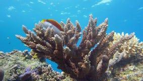 Angelfish императора, Красное Море imperator Pomacanthus Египет Стоковая Фотография RF
