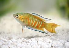 Angelfish рыб аквариума opercularis Macropodus осфронемовых рыб рая тропический Стоковая Фотография