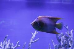 Angelfish ферзя подводный Стоковое фото RF