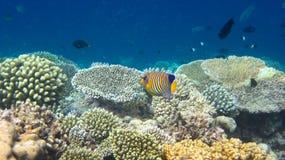 angelfish царственный стоковая фотография