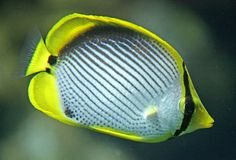 Angelfish 1 Immagine Stock
