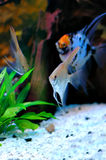 Angelfish imagens de stock royalty free