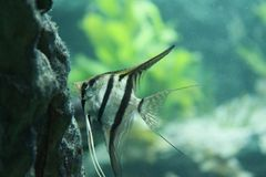 Angelfish foto de archivo libre de regalías