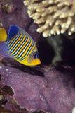 angelfish βασιλοπρεπής Στοκ Εικόνα
