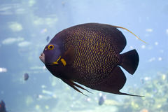 Angelfish. Brown Yellow Spotted Angelfish in clear water Royalty Free Stock Image
