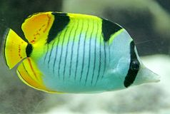 Angelfish 2 Royalty Free Stock Photos