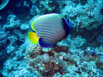 Angelfish. Tropical angelfish in blue. Red Sea royalty free stock photo
