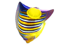Angelfish. Royalty Free Stock Images