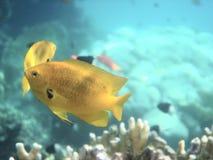 angelfish fotografia stock