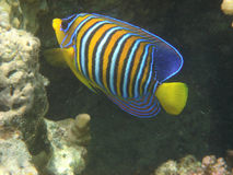 Angelfish Stockfoto