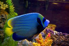 Angelfish Stockbild