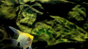 Angelfish stock footage