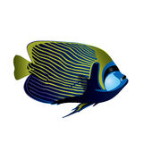 Angelfish. Stock Images