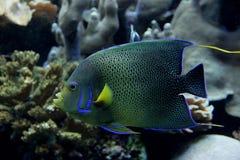 Angelfish Images stock