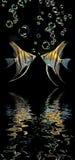 Angelfish Στοκ φωτογραφίες με δικαίωμα ελεύθερης χρήσης