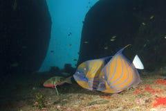 Angelfish Στοκ εικόνα με δικαίωμα ελεύθερης χρήσης