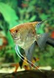 Angelfish Стоковые Фотографии RF