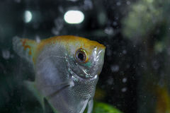Angelfish Fotografia de Stock Royalty Free
