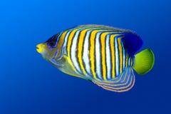 angelfish βασιλοπρεπής Στοκ φωτογραφία με δικαίωμα ελεύθερης χρήσης