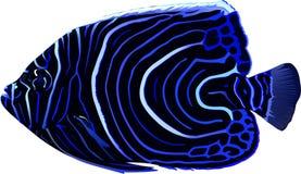 angelfish Zdjęcie Royalty Free