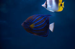 Angelfish. Stock Images