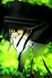 Angelfish Royalty Free Stock Images
