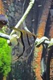 Angelfish Immagini Stock Libere da Diritti