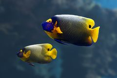 angelfish Στοκ Φωτογραφία