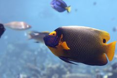 Angelfish. Yellow-faced Angelfish (Pomacanthus xanthometapon Royalty Free Stock Image