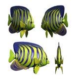 Angelfish Lizenzfreies Stockfoto