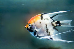Angelfish  Royalty Free Stock Photos