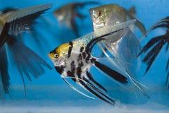 angelfish Στοκ Φωτογραφίες