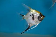 Angelfish Stock Photo