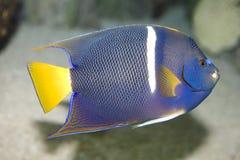 angelfish imagem de stock