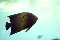 Angelfish. In open water Royalty Free Stock Photography