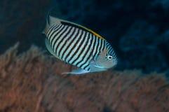 angelfish Obraz Royalty Free