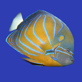 Angelfish Stockfotos