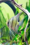 Angelfish in acquario Fotografia Stock Libera da Diritti