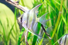Angelfish in acquario Immagine Stock Libera da Diritti