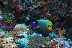 angelfish akwarium blueface strzelający underwater Zdjęcia Royalty Free