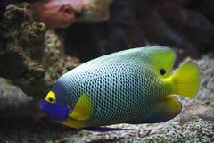 angelfish akwarium blueface strzelający underwater Obraz Royalty Free