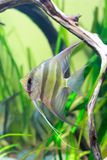Angelfish in aquarium Royalty Free Stock Photography