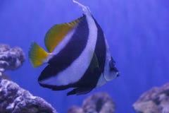 Angelfish in aquarium Royalty Free Stock Images