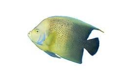 Angelfish in aquarium isolated. Angelfish (tropical fish)  in aquarium isolated Stock Photography