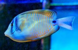 Angelfish azul do anel Foto de Stock Royalty Free