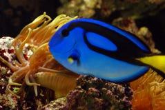 Angelfish azul no anemone do ouro imagens de stock royalty free