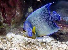 Angelfish błękit Zdjęcia Stock