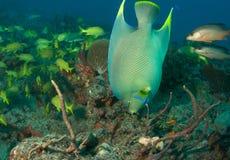 angelfish błękit Fotografia Stock
